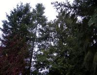 Cedars_1